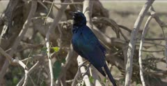 Burchell's starling on bush root calling