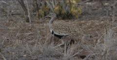 red-crested korhaan walking, foraging