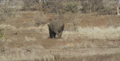 rhinos walking away
