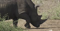 rhino walking, close