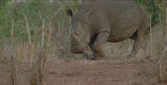 rhino defecating