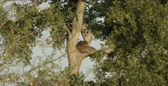 rock python coiled up in a tree