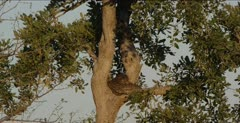 rock python coiled up in a tree and grey heron
