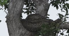 rock python in a tree, can see head