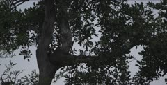rock python back in tree after a couple of days absent, must have just eaten because fat