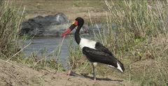 saddle-billed stork sitting on ankles or knees, nice water running