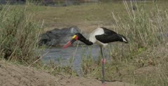 saddle-billed stork standing, picking up rocks?