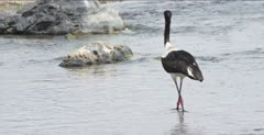 saddle-billed stork hunting in Oliphants River