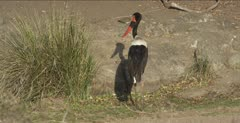saddle-billed stork standing