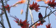 scarlet-chested sunbird at coral bean tree flowers