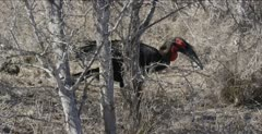 Southern ground hornbill male foraging