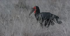 Southern ground hornbill male
