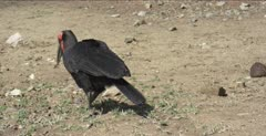 Southern ground hornbill walking and hunting