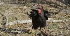 Southern ground hornbills, 2 mature males, 2 immatures and 1 female looking for handouts