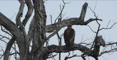tawny eagle sitting on a dead tree