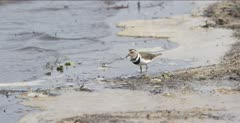three-banded plover feeding
