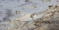 three-banded plover and wood sandpiper feeding