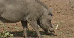 wart hog grazing, close