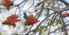 white-bellied sunbird at coral bean tree flowers
