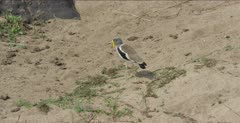 white-crowned plover walking