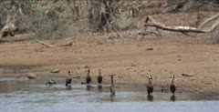 white-faced whistling ducks at a waterhole