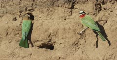 white-fronted bee-eaters 1 at nest hole, 1 on tree root, nest hole 1 flies to tree root, pan to 1 in nest hole and mate at same hole