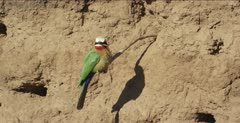 white-fronted bee-eaters 1 on tree root,then another lands on same tree root