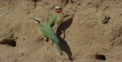 white-fronted bee-eaters 2 on tree root, then 1 flies
