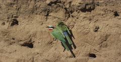 white-fronted bee-eaters 2 on tree root