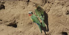 white-fronted bee-eaters 2 on tree root, 1 preening