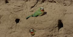 white-fronted bee-eaters 1 on clay, flies, 1 in nest hole