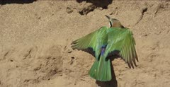 white-fronted bee-eaters 1 on clay with wings and tail spread out