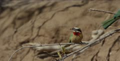 white-fronted bee-eaters 1 with a dragonfly gets chased by another