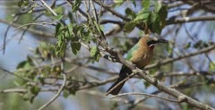 white-fronted bee-eaters 1 with a dragonfly