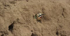 white-fronted bee-eater 1 goes into nest hole several times, nice calls