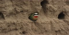white-fronted bee-eater 1 in nest hole, nice calls
