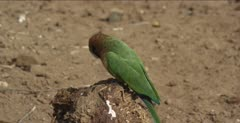 white-fronted bee-eater 1 on branch on ground