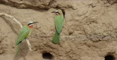 white-fronted bee-eater mated pair on stick and at nest hole, then they exchange places