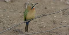 white-fronted bee-eater 1 sitting on low branch