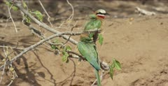 white-fronted bee-eater mated pair on low branches