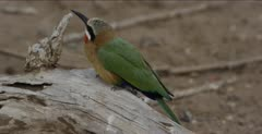 white-fronted bee-eater 1 on log looking up
