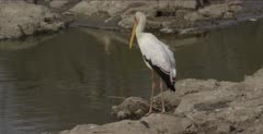 yellow-billed stork yawning or trying to cough up a fish bone ball and looking