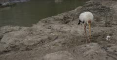 yellow-billed stork and Egyptian goose pan up from stork to goose