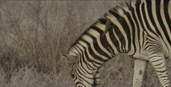 zebra and red-billed oxpecker