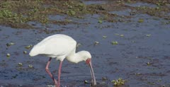 African spoonbill hunting