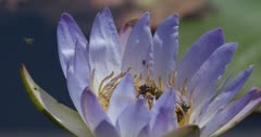 African water lily bees at the water lilly, slow motion