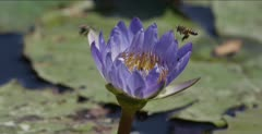 bees in African water lily