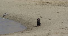 bateleur eagle getting dive bombed by blacksmith plover, slow motion, flies off