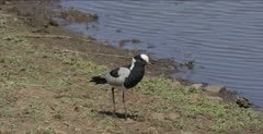 blacksmith plover hunting along Sunset Lake edge