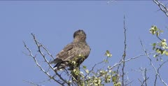 brown snake-eagle sitting in tree